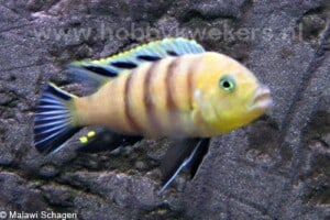 cynotilapia sp. lions cove man