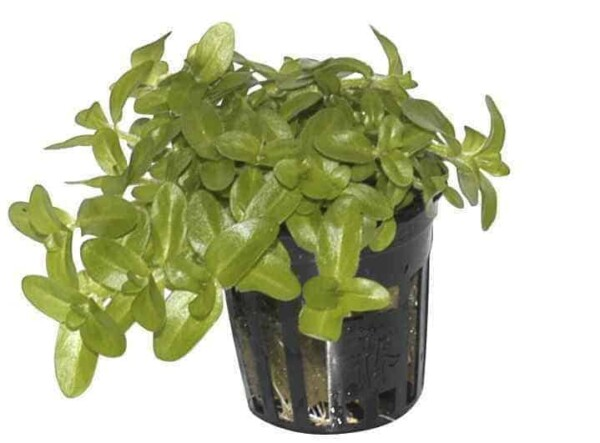 Bacopa caroliniana in pot