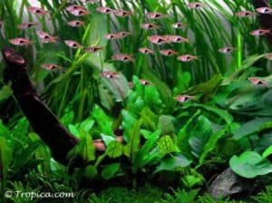 "Cryptocoryne wendtii ""Green"" in het aquarium"