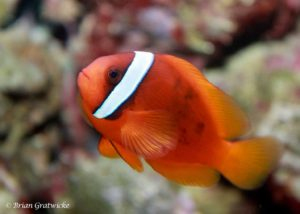 Amphiprion frenatus - Rode Anemoonvis