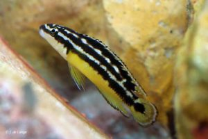 Julidochromis ornatus - Yellow